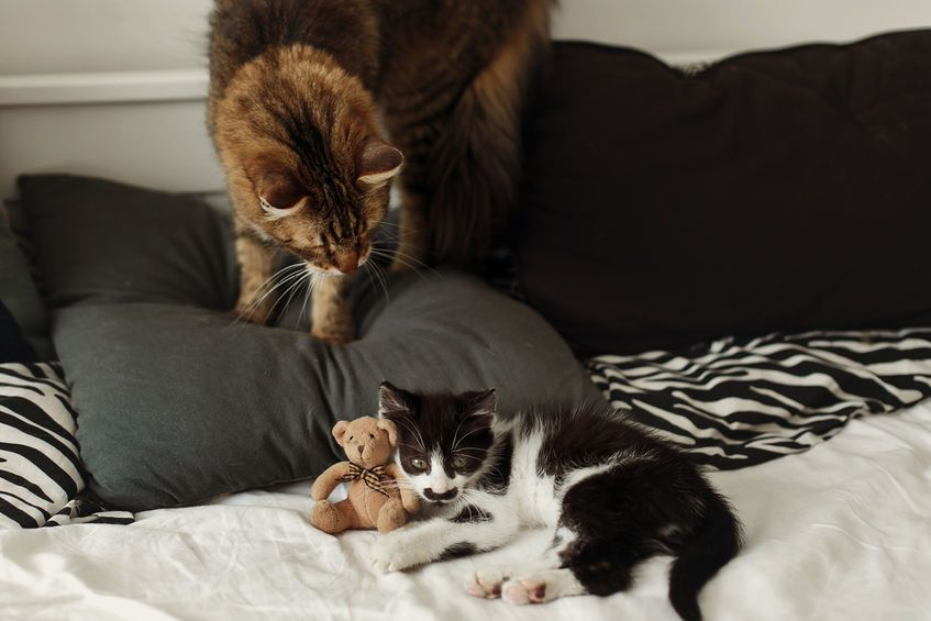 Adopting a companion cat for an existing cat is tricky and can be stressful. Patience is the key. Photo: 123rf.com