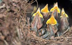 Traffic noise hinders birds learning and makes them worse at singing
