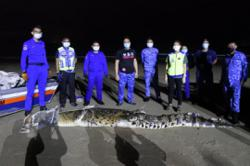 Crocodile caught in Pulau Gaya near KK after being spotted by public