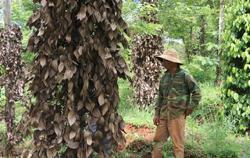 Vietnam: May trade deficit widens to US$2.07bil; farmers warned not to expand black pepper crop to avoid glut