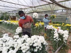 Bittersweet news for Cameron Highlands flower farmers