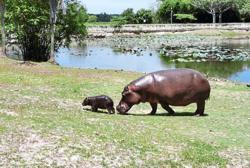 Third hippo birth at wetland sanctuary