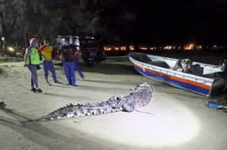200kg crocodile caught by villagers to be released