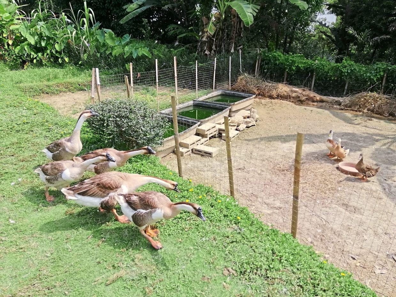 Before Malaysia went into lockdown, children chased ducks and peacocks at Kebun-kebun Bangsar.