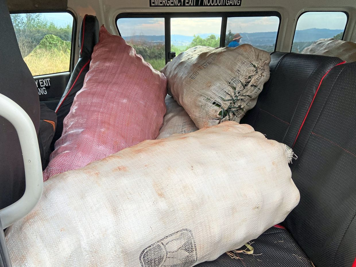 Sacks of stolen avocados sit in a vehicle following an arrest.