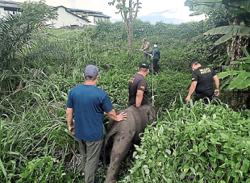 Lost elephant calf wandering in estate rescued by rangers