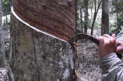 Rubber tapper almost squeezed dry in love scam