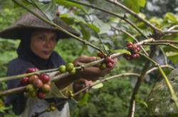 Global arabica coffee price rise not helping Indonesian farmers