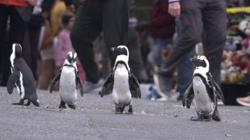 Meet the penguins that live among people in South Africa