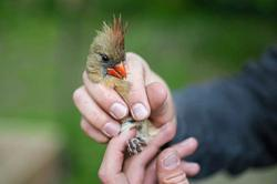 For the love of birds: Backyard sleuths boost scientists' work