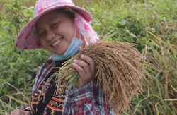 NGO-run padi project yields greater returns for traditional farmers