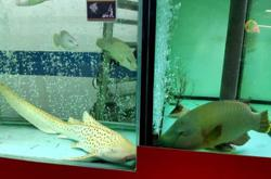 Protected shark species for sale in a restaurant? Conservationists call for a probe