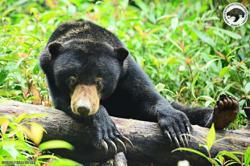 Video clip of injured sun bear recorded at rubber plantation, says Perhilitan