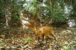 Rare giant barking deer spotted in Cambodia