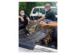 Perhilitan finally traps 'Mamat' the saltwater crocodile