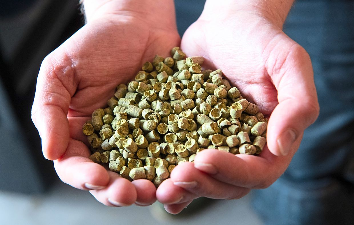 Stieren holding hops pellets used in the beer brewing process. The pellet form means they can be kept longer, though some brewers prefer to use whole lead hops.