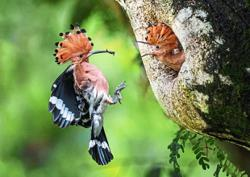 Hoopoes return to breed in Taiping