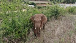 Elephant which strayed from Yunnan herd sent back to home reserve