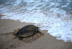 Turtles dying at alarming rate in Terengganu, says Fisheries Dept