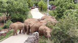Wild elephants long march captivates an entire nation