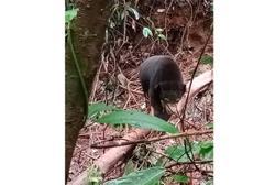 Sun bear found caught in snare near oil palm plantation in Kedah