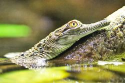 Two plead guilty to smuggling crocodiles into Brunei