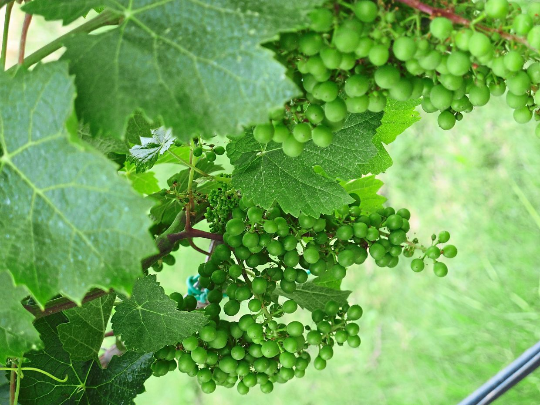 Grapes growing in Cotarella's family vineyard.