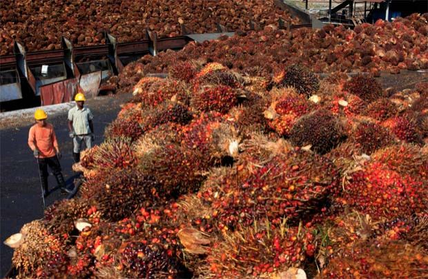 palm oil fruits workers