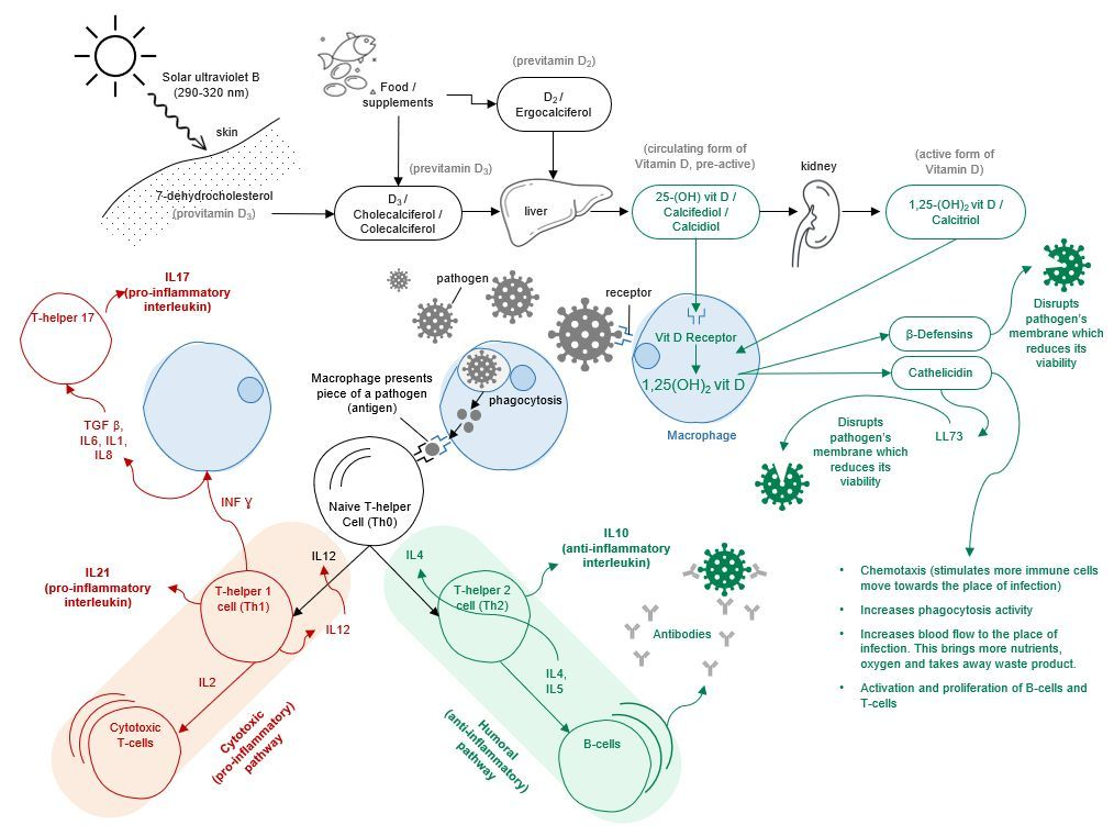 Figure 1: Immuno-regulation by Vitamin D