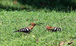 Three hoopoe chicks leave nest in Taiping Lake Garden