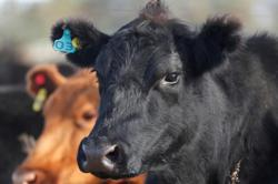 China bans cattle imports from Laos to prevent skin disease