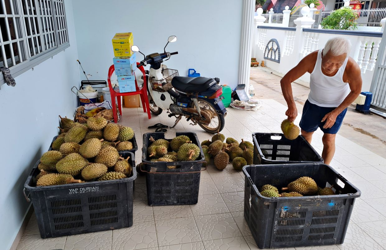 Hoh's father sorting the durians into the different types for selling. Photo: Christine Ngh