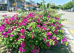 Ipoh aims to keep to its image as Bougainvillea City