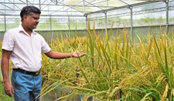 GMO crop approved for production