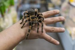 Spider venom could be used to treat for chronic pain soon