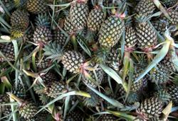 I have a pen, I have paper: Pineapple board officer in the dock for allegedly faking documents