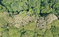Mass flowering of Malaysia's dipterocarp forests