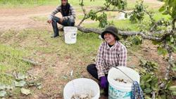 Mushrooms bring cash to Cambodian villager in Oddar Meanchey