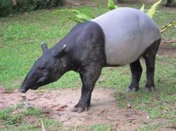 Negri Sembilan Wildlife Dept catch 300-kg female tapir