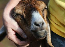 Man nabbed in Hulu Selangor for allegedly having unnatural sex with goat