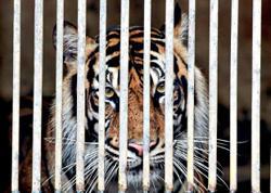 Sumatran tigers at zoo recovering from Covid-19