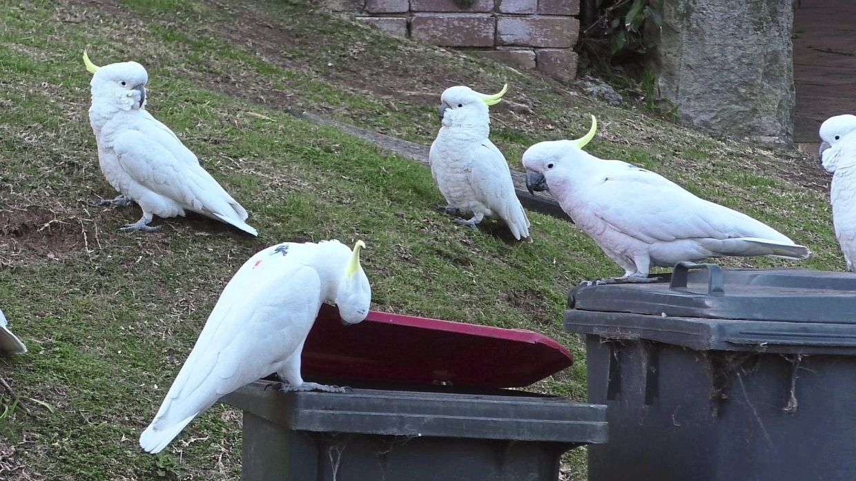The birds mostly learn how to lift dustbin lids by watching their peers, according to research published recently in the journal Science.