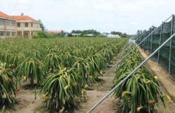 Off-season fruits prove lucrative for Mekong Delta farmers