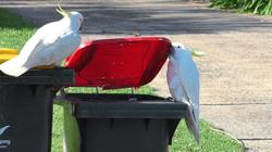 Clever cockatoos learn to lift trash can lids