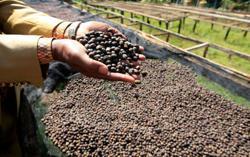 Kenya's growing taste for specialty coffee seen spurring output