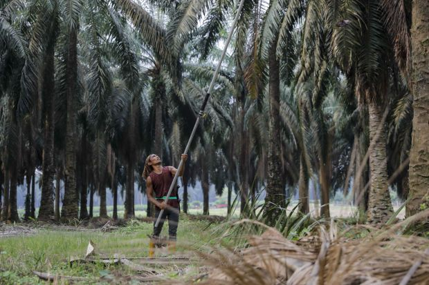 A plantation worker uses a harvesting sickle to harvest a palm oil bunch at the Genting Tanah Merah Estate, operated by Genting Plantations Bhd., in Johore, Malaysia
