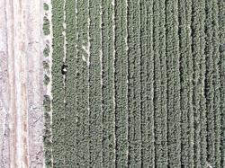 Xinjiang cotton growers happy as prices rise