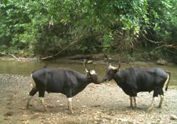 Captive breeding of endangered banteng needed amid constant threat of poaching