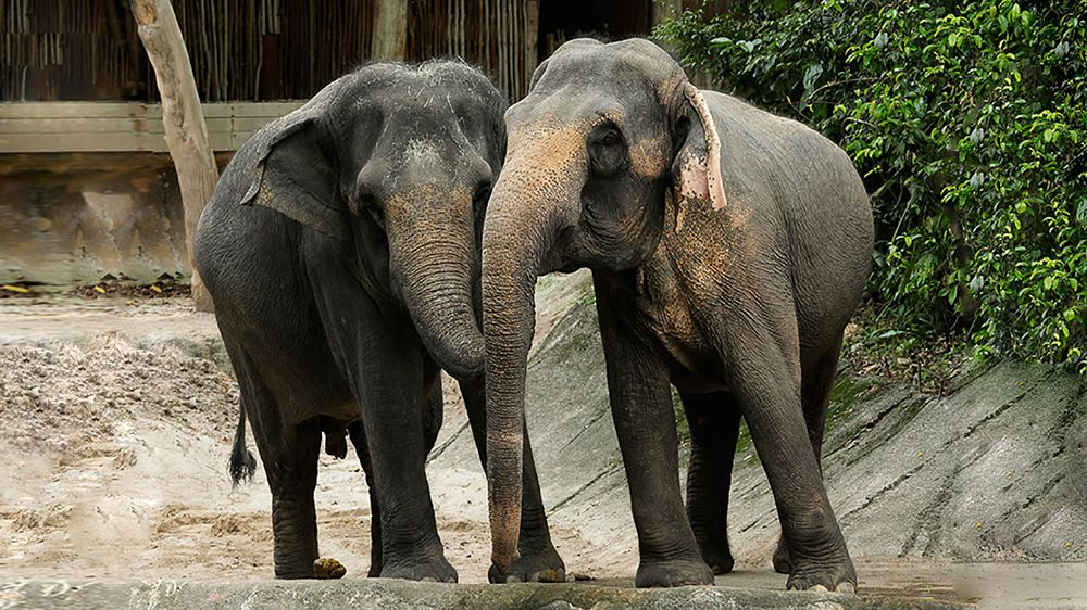 Go behind-the-scenes into the WRS popular Elephants of Asia enclosure.