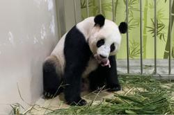 Singapore gets first panda cub, born to Kai Kai and Jia Jia at River Safari